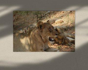 Löwin knurrt im Rudel von Johnno de Jong