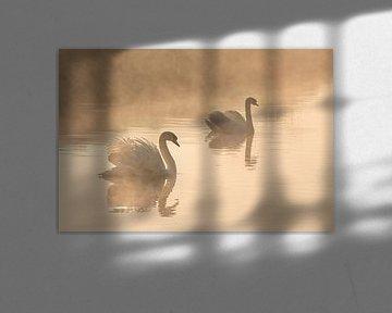 2 zwanen in ochtend in de mist van Patricia Mallens