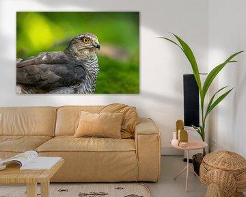 Épervier, Accipiter nisus. Un portrait. sur Gert Hilbink