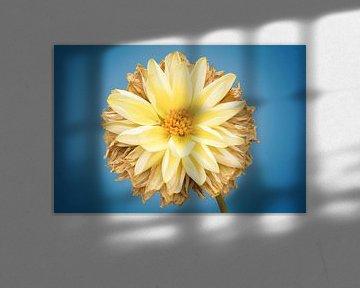 Dahlie im Herbst; glühendes Licht von Sven Wildschut