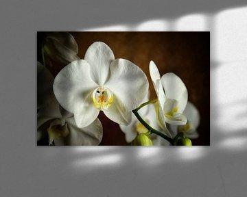 Weiße Orchidee Phalaenopsis Blüten. von Iris Heuer