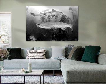 Prehistorische haaien in Zuid-Afrika van Filip Staes