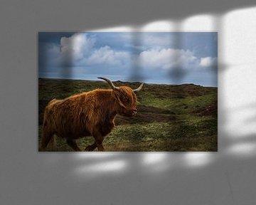 Schotse Hooglander lopend door de duinen van Dustin Musch