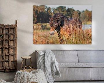 Exmoor hengst in Friesland van Maria-Maaike Dijkstra