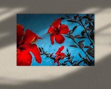 Hibiscus Hardy (Hibiscus X) sur Pascal Sunday