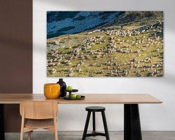 Schapen in de bergen van Iezer Papusa, Roemenië van Jessica Lokker