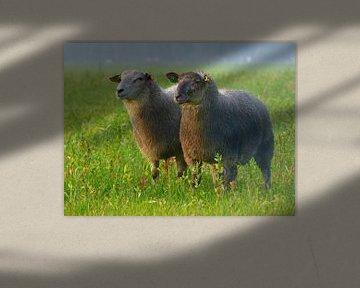Schwestern.... (Zwei Schafe) von Caroline Lichthart