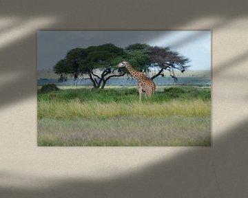 Masai Giraffe van Alexander Schulz