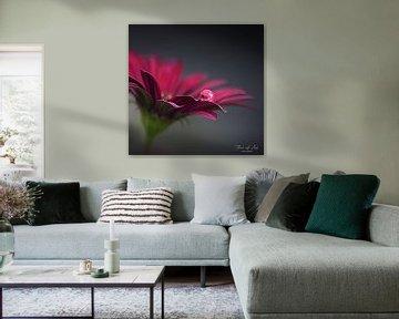 Sturz auf ein afrikanisches Gänseblümchen (Osteospermum). von Flower and Art
