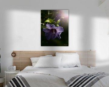 Hibiscus de jardin au crépuscule (Hibiscus syriacus) sur Flower and Art