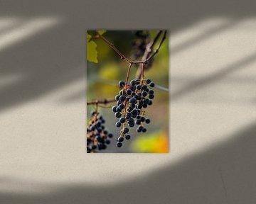 Druiven in de wijngaard van Stan van den Beld