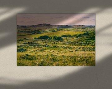 Des champs de canneberges dans les dunes.