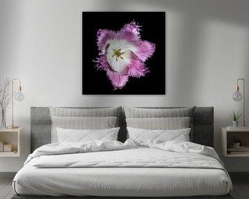 Tulpe, Blume auf schwarz von Andreas Hackl