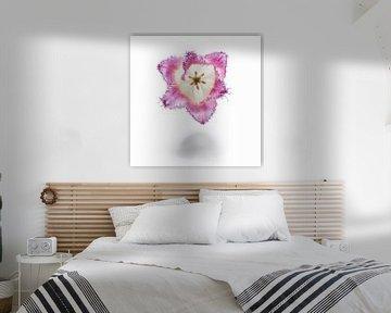 Tulpe, Blume auf weiß von Andreas Hackl