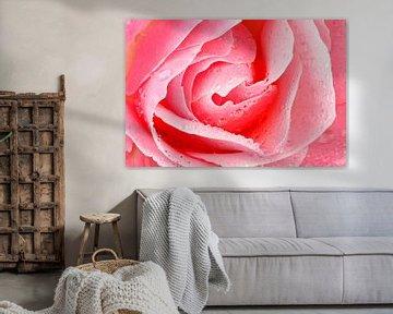 Rosa blühende Rose in Nahaufnahme von Nisangha Masselink