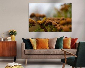 Herbst (Tanacetum ) von Ilse Hoen