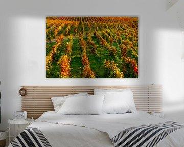 Druiven in een wijnveld bij de Pacheca wijnplantage aan de douro rivier in Portugal van Ivo de Rooij