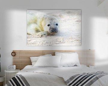 Robbenbaby (Halichoerus grypus) beim Entspannen am Strand der Nordsee von Nisangha Masselink
