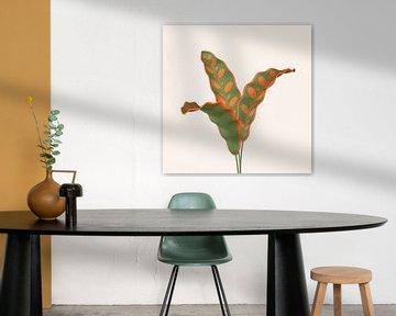 farbenfrohe Calathea (Klapperschlange) lancifolia von Klaudia Kogut