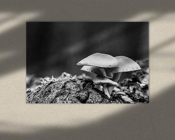 Gruppe von Schwefelköpfen am Baumstamm in Schwarz und Weiß von Photo Henk van Dijk