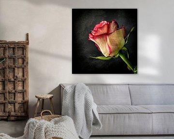 Alte Rose von Jos Verhoogen