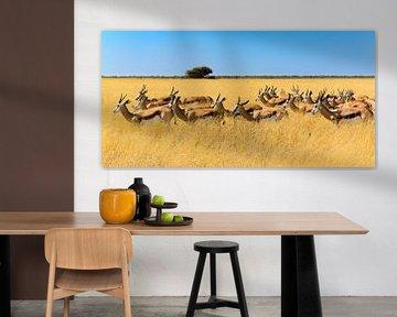 Springbockherde im Savannengras von Denis Feiner