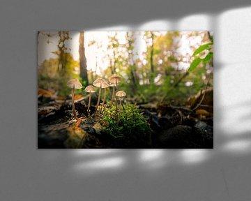 Paddenstoel in het bos van Johan Honders