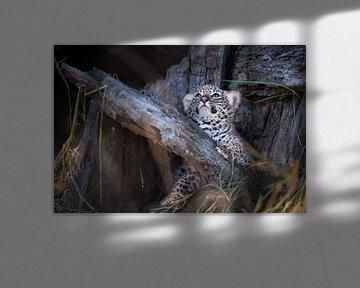 Leopardenjunges schaut auf von Jos van Bommel
