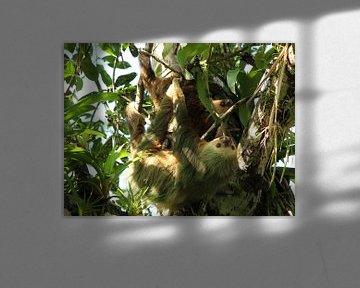 Mutter und Baby-Faultier in Costa Rica von Berg Photostore