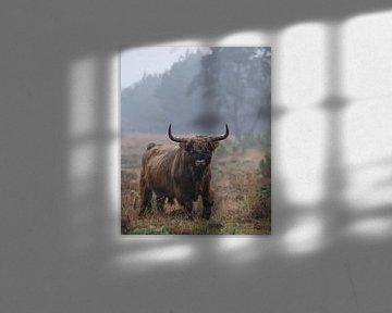 Schotse Hooglander Stier