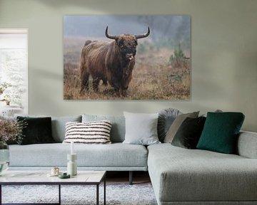 Schottischer Highlander-Stier von Menno Schaefer