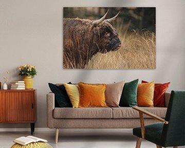 Schottischer Highlander Taurus Porträt. von Menno Schaefer
