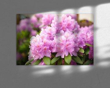 Blüte eines Rhododendron von Philipp Klassen