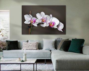 Eine blühende Orchidee von Philipp Klassen