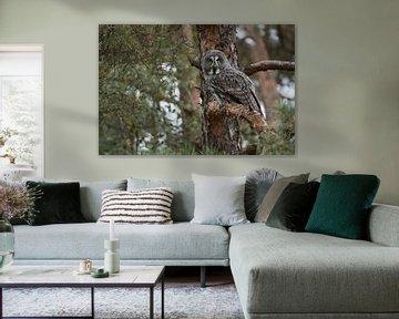 Le hibou barbu ( Strix nebulosa ) s'accroupit dans un pin, chasseur au camouflage presque parfait.