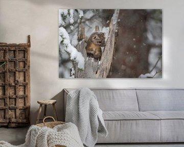Baummarder / Fichtenmarder ( Martes americana ) im Winter,  wildlife, Yellowstone, USA., süßes Bild. von wunderbare Erde