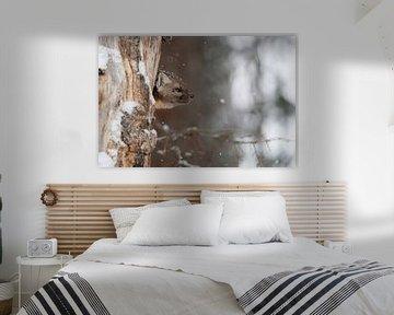 Marder / Baummarder / Fichtenmarder ( Martes americana ) schaut missmutig aus seiner Baumhöhle. von wunderbare Erde