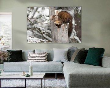 Marder / Baummarder / Fichtenmarder ( Martes americana ) im Winter,  wildlife, Yellowstone NP, USA. von wunderbare Erde