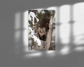 Marder / Baummarder / Fichtenmarder ( Martes americana ) im Winter , direkter Blickkontakt, wildlife von wunderbare Erde