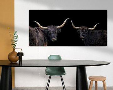 Schotse Hooglanders, compilatie van 2 in panoramabeeld van Gert Hilbink