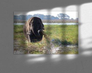 Elefant wäscht sein Essen im Okavango Delta von R.Phillipson