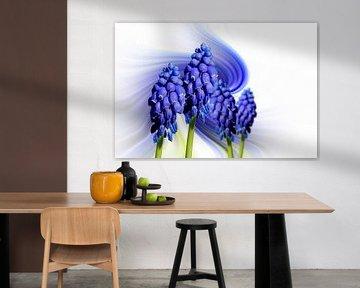 Grape hyacinth (Muscari Armeniacum) against an abstract background von Harry Adam