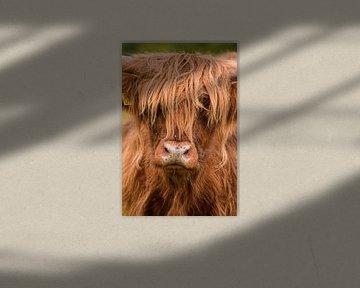 Schottischer Hochlandbewohner von Samantha Rorijs