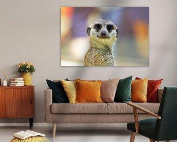 Meerkat kijkt naar de camera