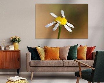 Ein Gänseblümchen von Frank Herrmann