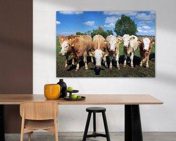 Zes koeien die naar de camera kijken