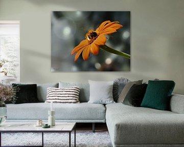 Eine Hummel auf einer mexikanischen Sonnenblume (Tithonia diversifolia) von Flower and Art