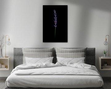 Lavendel von Zansu Fotografie