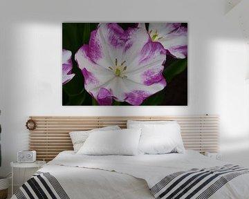 Grote Witpaarse Tulp van Marcel van Duinen