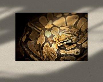 Anagonda snake / slang sur Margo Schoote